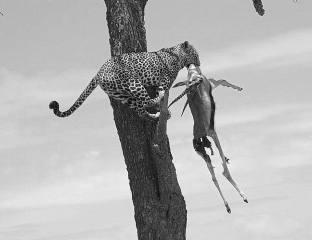 Leopard and Deer